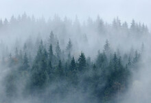 Pine Forest In Mist, Bystritsa Village Area, Carpathian Mountains, Ivano-Frankivsk Region, Ukraine