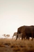 African Elephants At Dawn In Amboseli National Park, Kenya