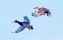 Pair Of Mallards In Flight