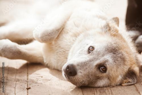 Billede på lærred Portrait of a beautiful gray dog