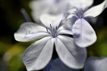 Selective Focus Closeup Of A Plumbago Flowers