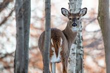 Female White-tailed Deer (Odocoileus Virginianus) In A Wisconsin Woods
