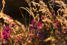 Pink And Purple Flowers In The Field At Sunset With Soft Background