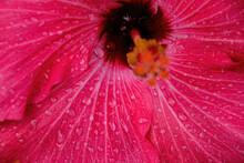 Bright Pink Hibiscus Flower