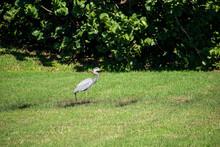 Gray Heron Walking Slowly Looking For Food