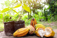 Cacao Tree Seedling And Bright Yellow Orange Ripe Pods With Copy Space. Cocoa Fruit Farming Production And Agriculture Concept.