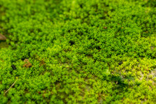 Moss Texture. Beautiful Green Moss On The Floor.Green Mos Close-up On Ground And Gravel.