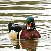 Colorful Male Wood Duck Swimming In A Lake