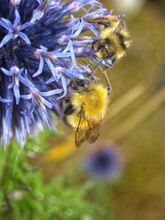 Two Fuzzy Yellow And Black Bumblebees Pollinating A Blue Allium Flower In The Sunshine.