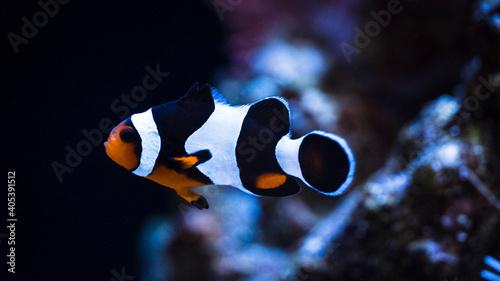 Canvastavla clownfish in aquarium