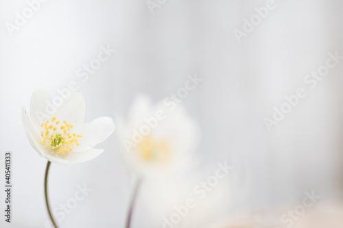 Fotografija Wood anemone,Anemone nemorosa,white spring flowers with sunlight in nature