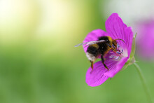Macro Shot Of A Yellow-and-black Striped Bumblebee Pollinating And Collecting Nectar On A Purple Wildflower On A Sunny Day. Blurred Green Background. Free Space. Selective Focus.