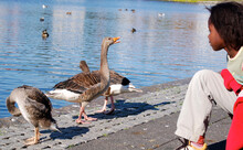 Side View Of Young Woman Looking At Geese By Lake