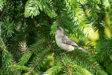 Closeup Shot Of A Small Bird On Pine Tree Branches