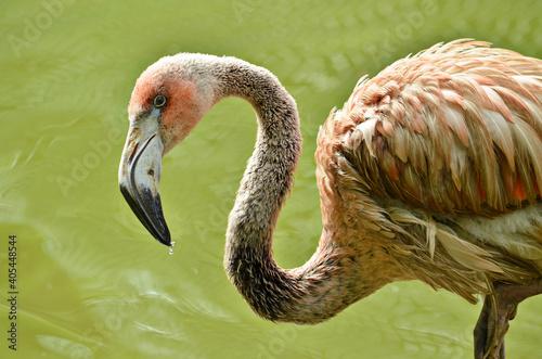 Fototapeta premium close up of a pink flamingo