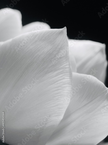Photo Close-up Of White Rose Flower Against Black Background