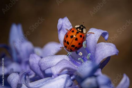 Fototapeta Closeup shot of a cute small ladybird beetle on a purple flower