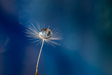 Closeup Of A Dandelion Seed With A Water Drop On It Against A Blurred Blue Background