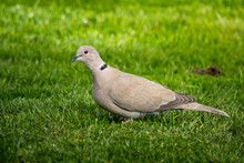 Closeup Of A Eurasian Collared Dove On The Ground Covered In The Grass