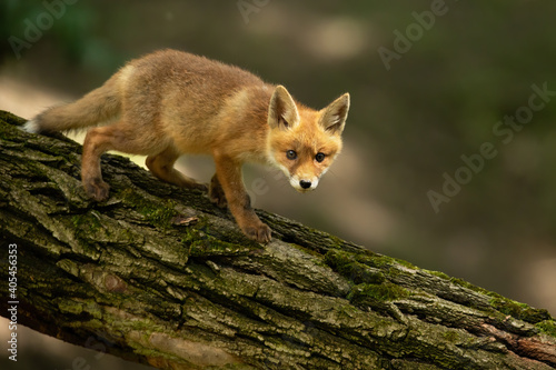 Fototapeta premium Young red fox, vulpes vulpes, walking on tree in summertime nature. Little orange mammal moving on trunk in wilderness. Baby predator going on wood from side.