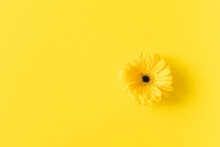 Yellow Gerbera Flower On Isolated Yellow Background With Place For Tex