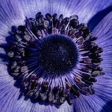 Closeup Of An Anemone Poppy Stamen Under The Sbyb