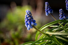 Closeup Of Common Grape Hyacinths In A Garden Under The Sunlight With A Blurry Background