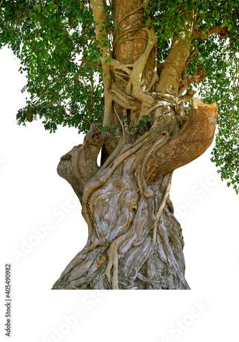 Fotografia, Obraz Image of the base of an tree on a white background.