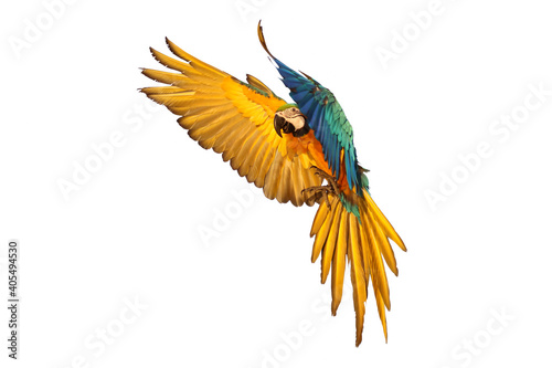 Foto Macaw parrot flying isolated on white background