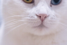 Adorable White Angora Cat With Heterochromia Eyes