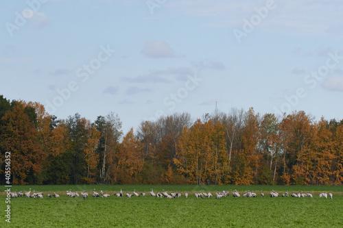 Fototapeta premium Kraniche im Herbst in der Oberlausitz