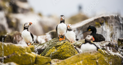 Atlantic puffin in Farne islands Fotobehang