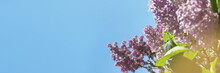 Header With Blooming Lilac Tree Flowers. Sunny Day With Blue Sky. Spring Concept With Copy Space.