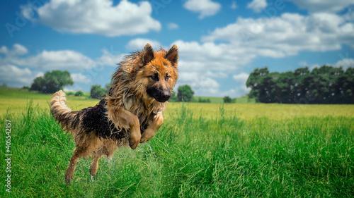 Fototapeta leaping german shepherd dog