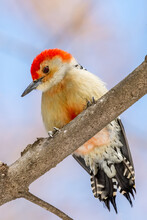 Red-bellied Woodpecker On A Tree Branch In The Winter.