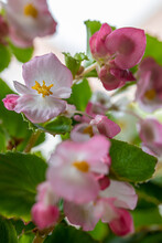 Flowering Branch Of Begonia Cucullata, Beautiful Blooming Pink Flowers On Bokeh Garden Background. Selective Focus.