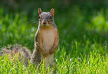 An Adorable Fox Squirrel In A Sunny Yard