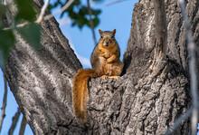 A Fox Squirrel Reclining In A Tree