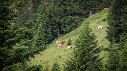 Rinder auf einer Almweide umgeben von Nadelwäldern