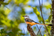 A Colorful Scissor-tailed Flycatcher Perched On A Tree Branch