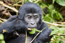 Young Gorilla In Bwindi Impenetrable Forest