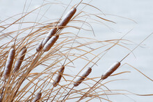 Winter Landscape With Plant Of Cattail On The Lake.
