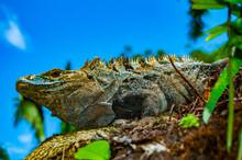 Iguana On The Tree