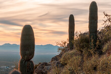 Younger Saguaro Cacti With No Arms On A Hillside At Sunset In Tucson Mountain Park