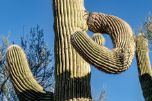 The Twisted Arms Of A Saguaro Cactus (Carnegiea Gigantea) In The Harsh Midday Sun