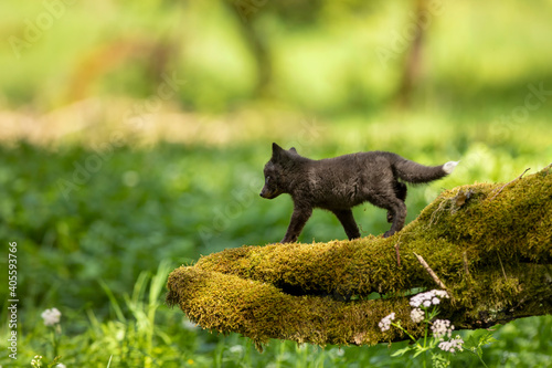 Fototapeta premium Red fox, vulpes vulpes, small young cub in forest on moss stump. Cute little wild predator in natural environment. Wildlife scene from nature