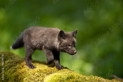 Fototapeta premium Red fox, vulpes vulpes, small young cub in forest on moss stump. Little wild predator in natural environment. Wildlife scene from nature