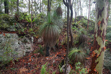 Australian Bush Scene Featuring Grass Trees, Ferns, Rock Formations And Orange Coloured Leaves And Bark.