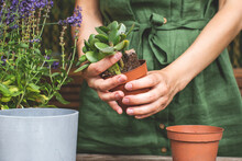 Woman Gardeners Transplanting Jade Plant In Plastic Pots On Wooden Table. Concept Of Home Garden. Spring Time. Taking Care Of Home Plants