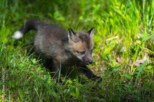 Fototapeta premium Red Fox (Vulpes vulpes) Kit Runs Through Grass Summer